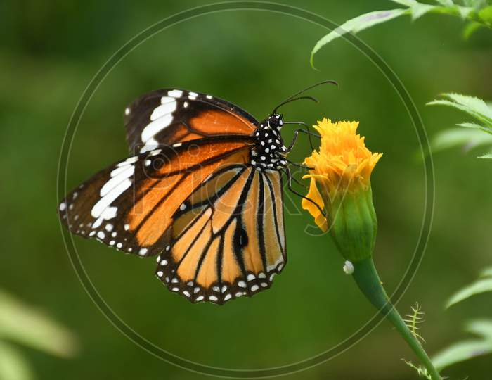 A  Butterfly seen collecting nectar from a flower in a Park near Koliabor in Nagaon District of Assam on Oct 31,202