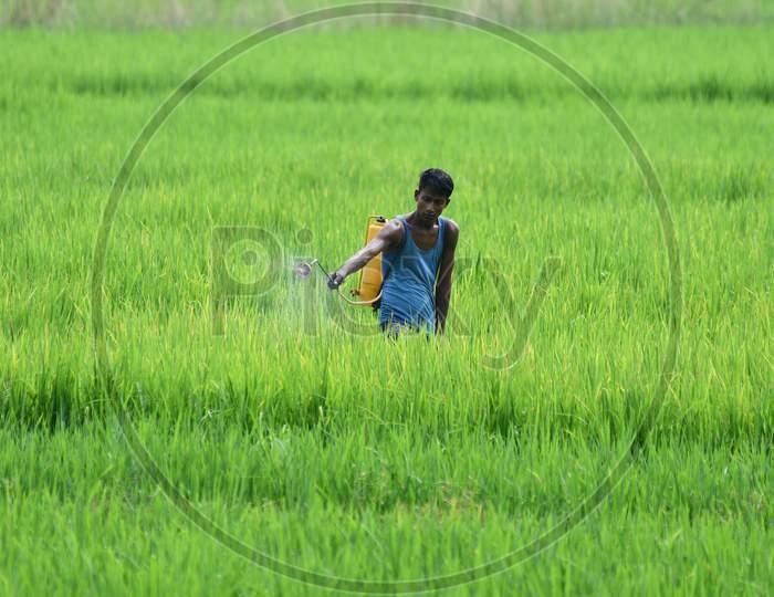 A farmer sprays fertilizer on his paddy crop at Kuthari village near Kaziranga in Nagaon District of Assam on Oct 4,2020.