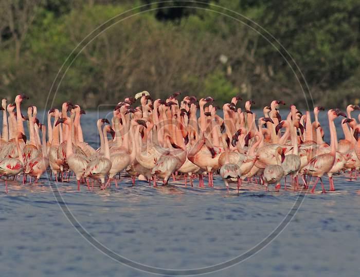 Lesser Flamingo courtship dance