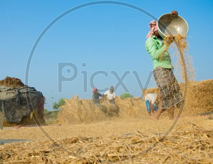 Paddy Harvesting Process.
