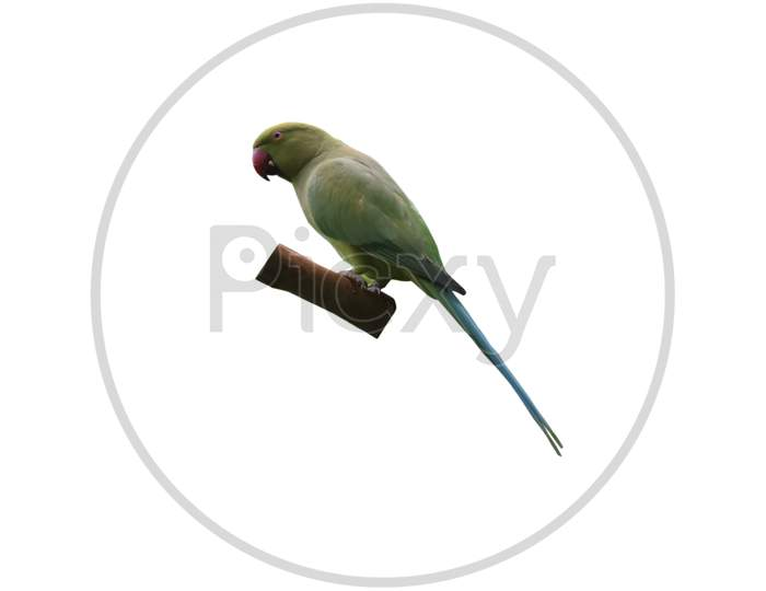 A Green Parrot With Wooden Piece Isolated On White Background