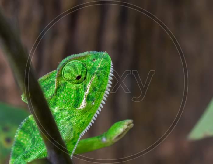 Green Chameleon Sitting On A Green Leaf