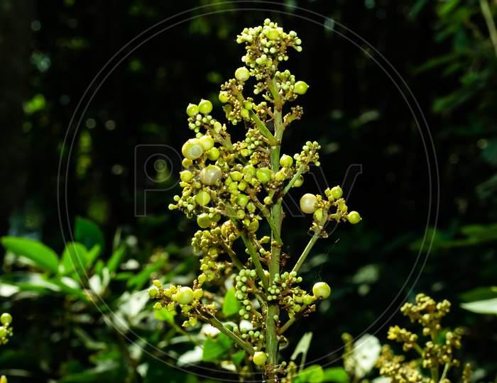 Vitis Or Grapevines Is A Genus Berries Or Cherry Type Fruit