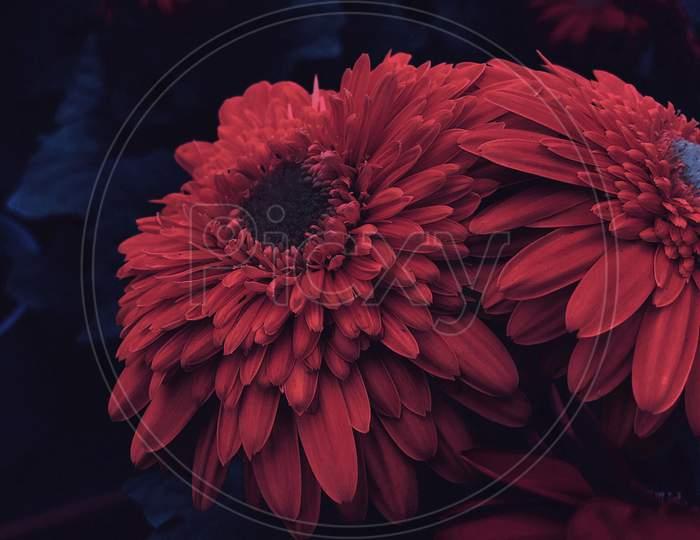 gerbera flower Portrait