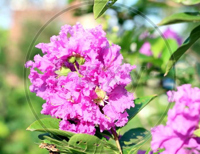 Beautiful Sweet William Flowers (Dianthus Barbatus) In The Garden Close Up