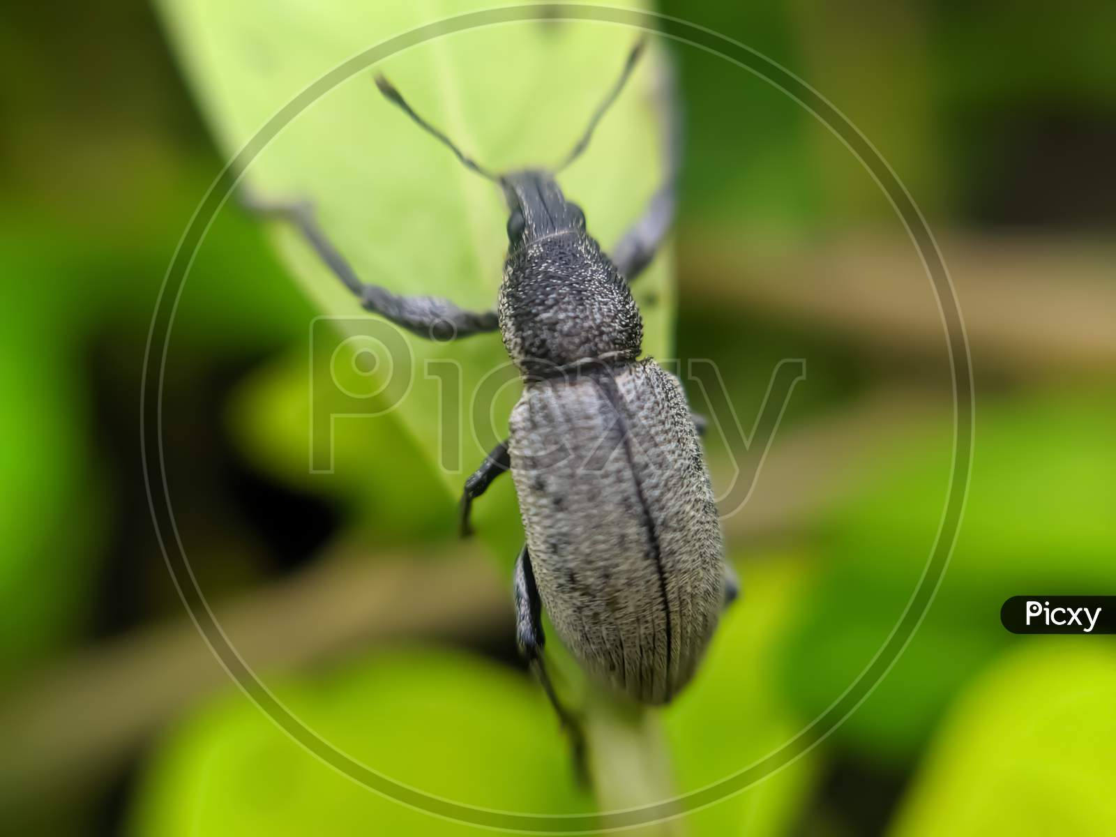 Curculionoidea insect on leaf garden curculionoidea green leaves plant to sit weevils
