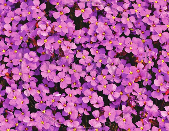 aubretia wildflowers  Macro photography