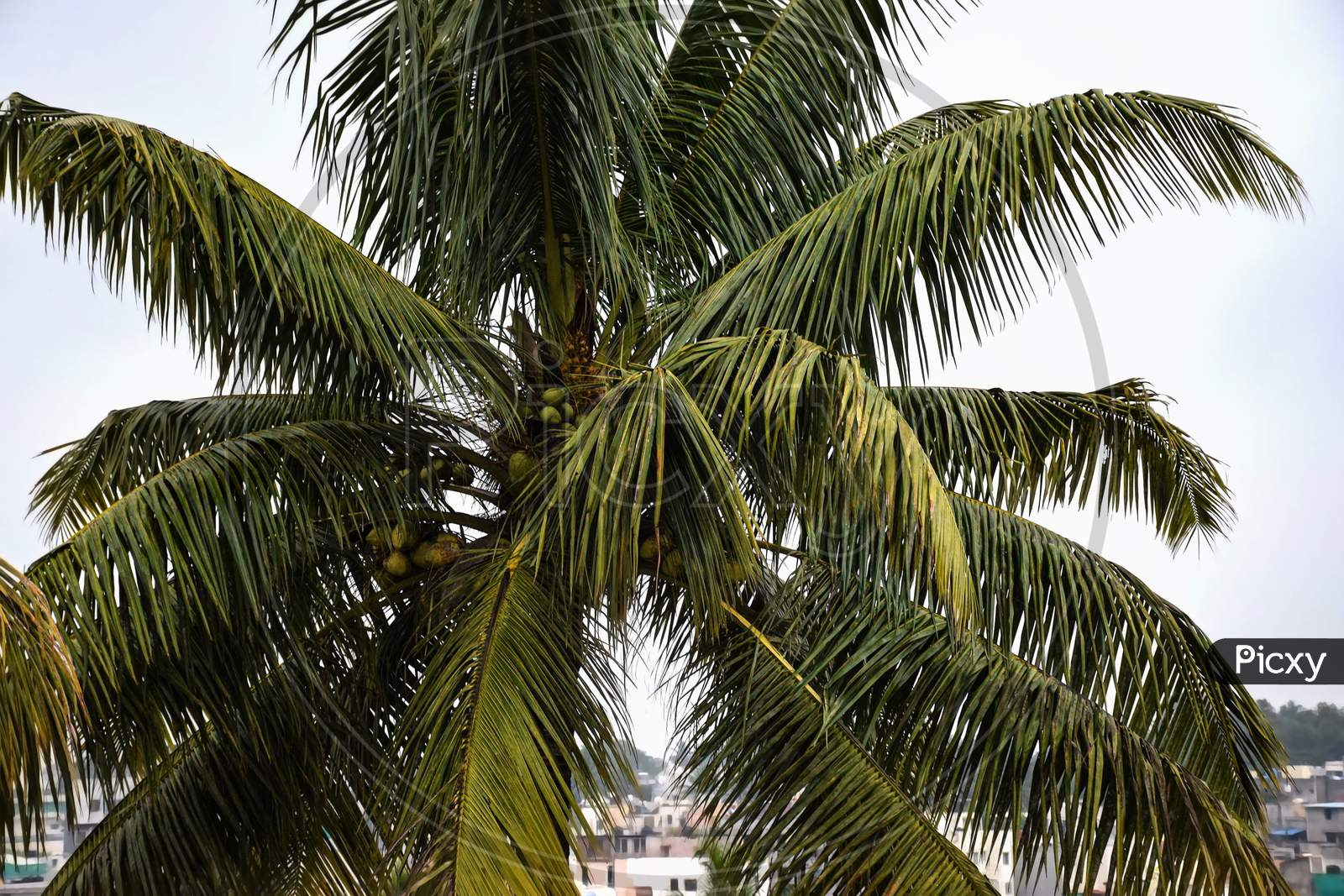 Picture Of Beautiful Tropical Coconut Palm Tree In Maharashtra State Of India