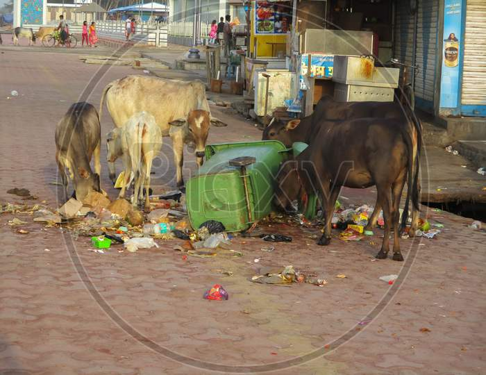 West Bengal , India May 14, 2019 : A Garbage Dump Has Fallen Down On The Road And Two Or Three Cows Were Searching Food From .