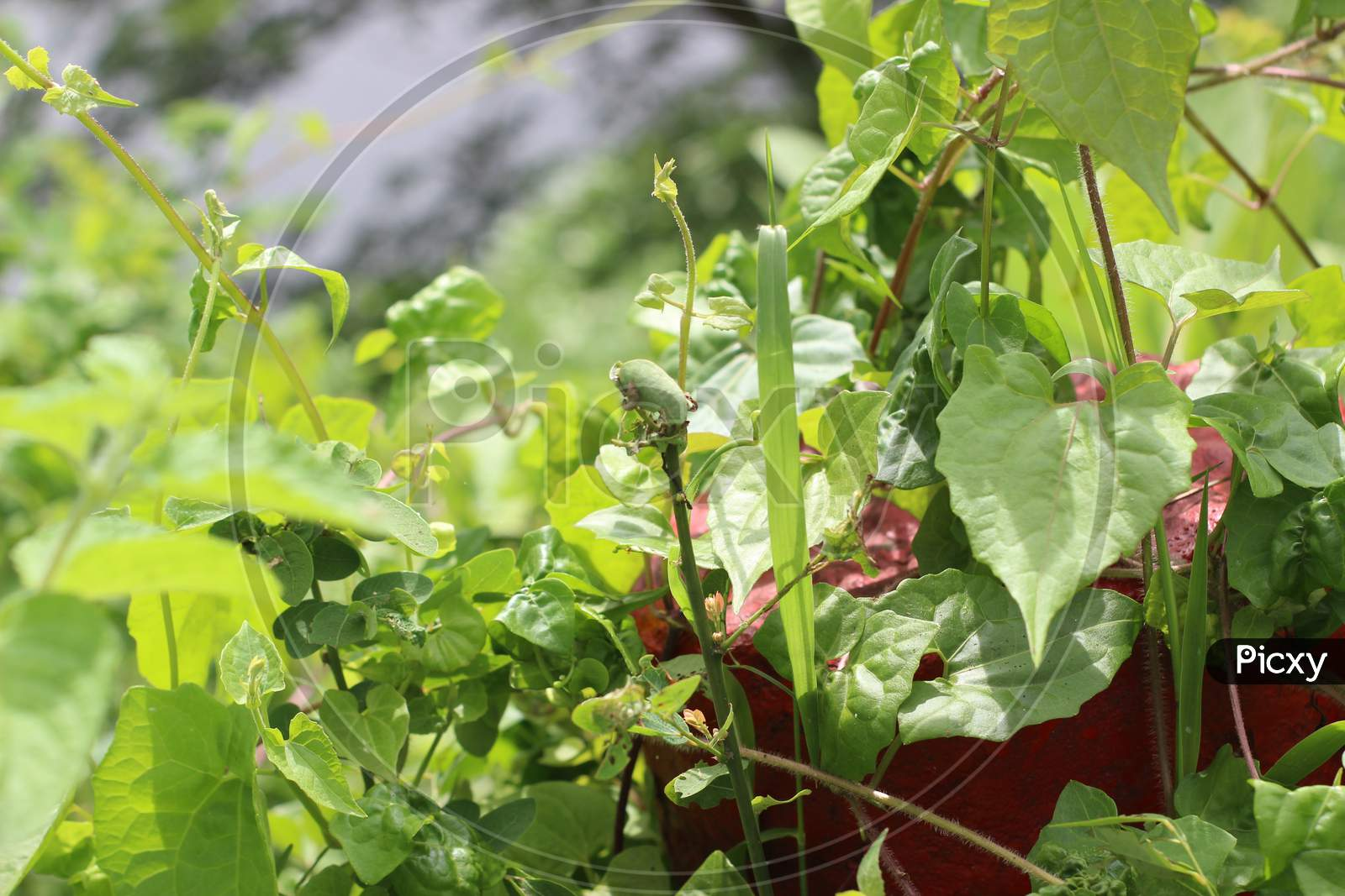 Beans On The Bush In The Garden - Organic Food
