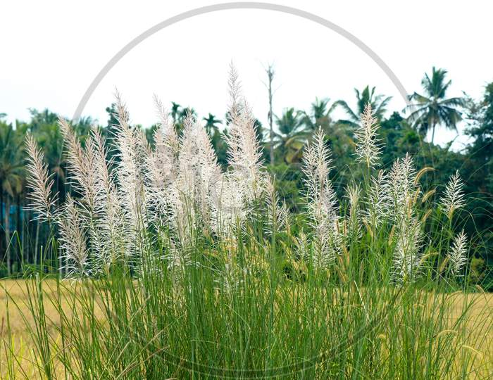 Feather Like Flowers Of Wild Sugarcane Or  Saccharum Spontaneum