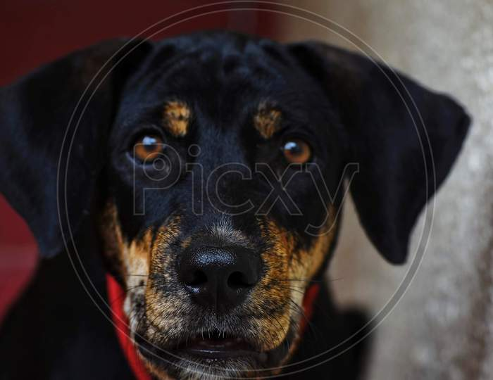 Black dog closeup