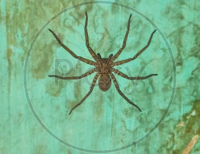 Heteropoda venatoria spider huntsman spiderblack big spider in indian village home