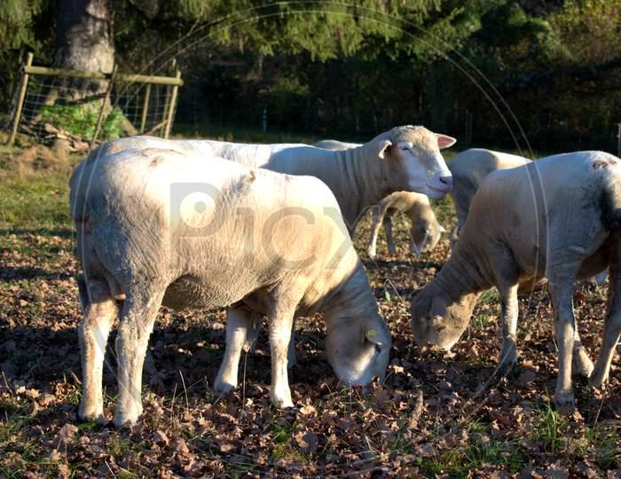 Group of sheep in Schaan in Liechtenstein 14.11.2020