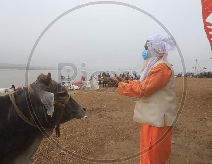 Hindu  Sadu Or baba Performing Aarthi To Holy Cow Wearing Surgical Mask For Safety From Corona Virus Outbreak  In India At Prayagraj