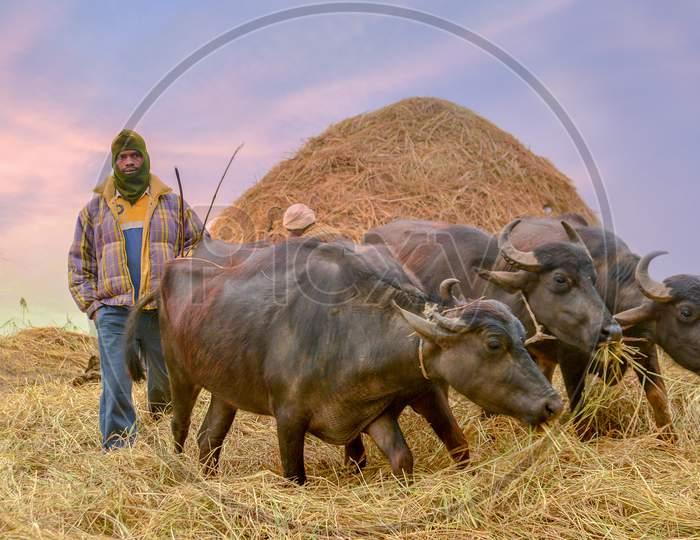 Indian Farmer Taking Buffaloes Or Cattle for Grazing on an Winter Morning in Araku