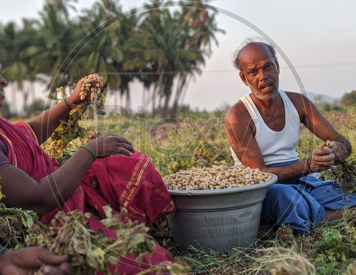 A man and a woman plucking Groundnut