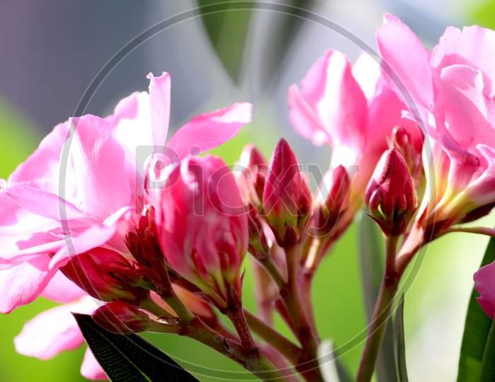 Pink  Oleander Flower Blooming on Plants