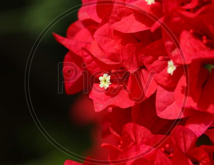 Micro Shot Of Red Bougainvillea Flower In Spring Time, Flowers Background