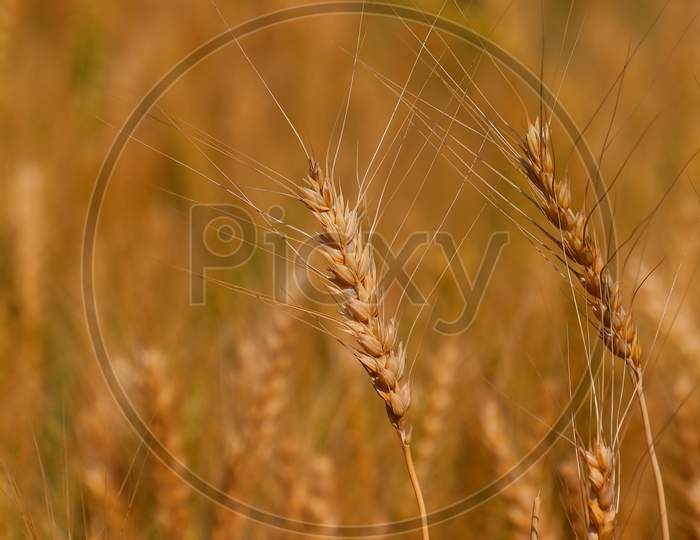 Close Up Of Ears Of Wheat Or Barley In Agriculture Field, Wheat Or Barley Crop