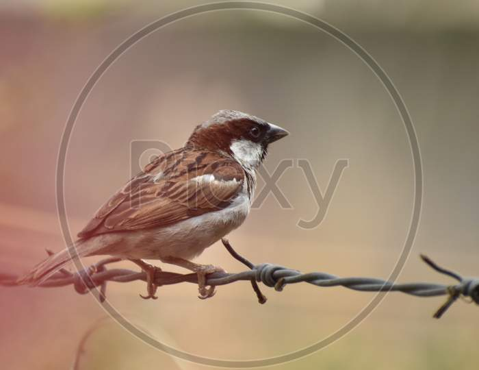 beautiful image of sparrow sitting on fence side view