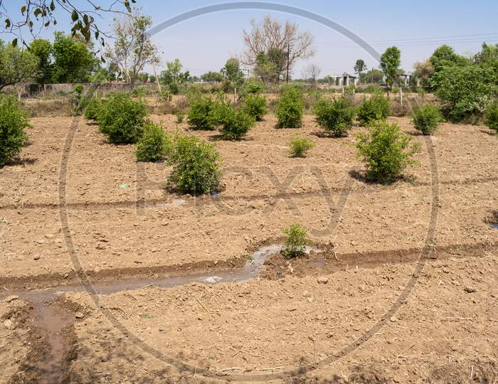 irrigation or watering of the lemon plants in the garden at a farm