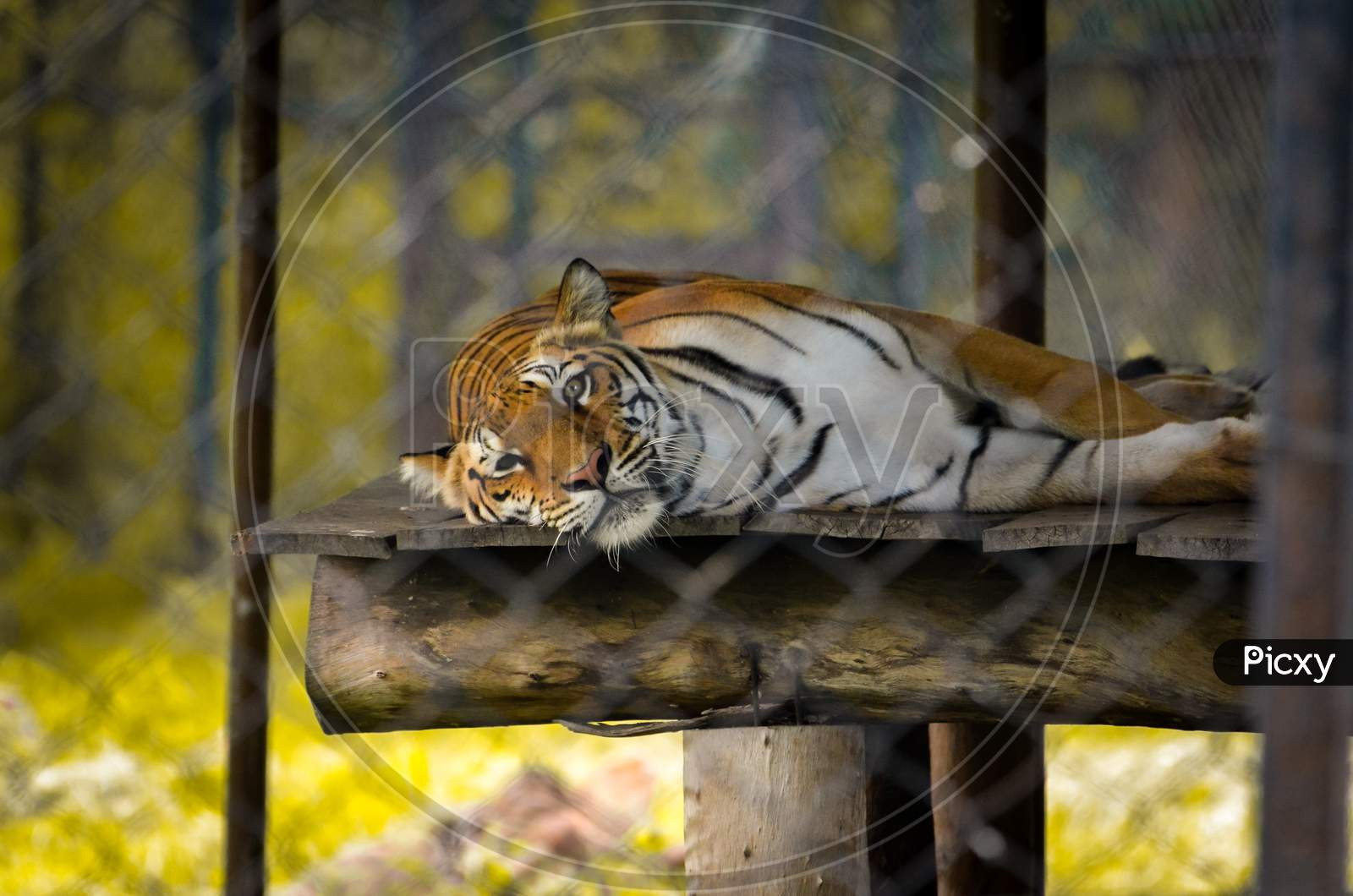 tiger relaxing.