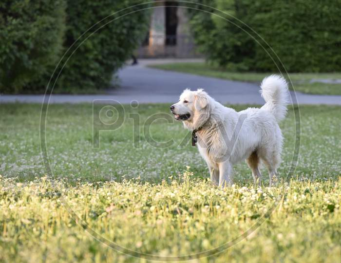 White pet Dog Stands Still On The Grass