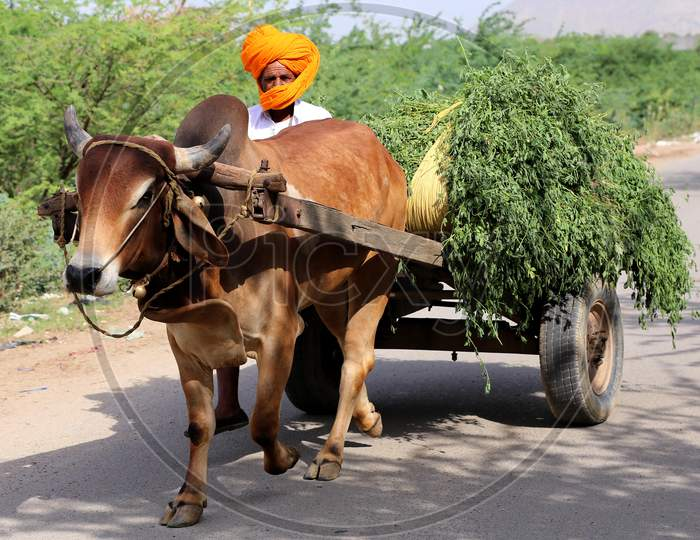 A man return from the fields with the produce on a bullock cart on the outskirts of Ajmer, Rajasthan, India on 09 May 2020.