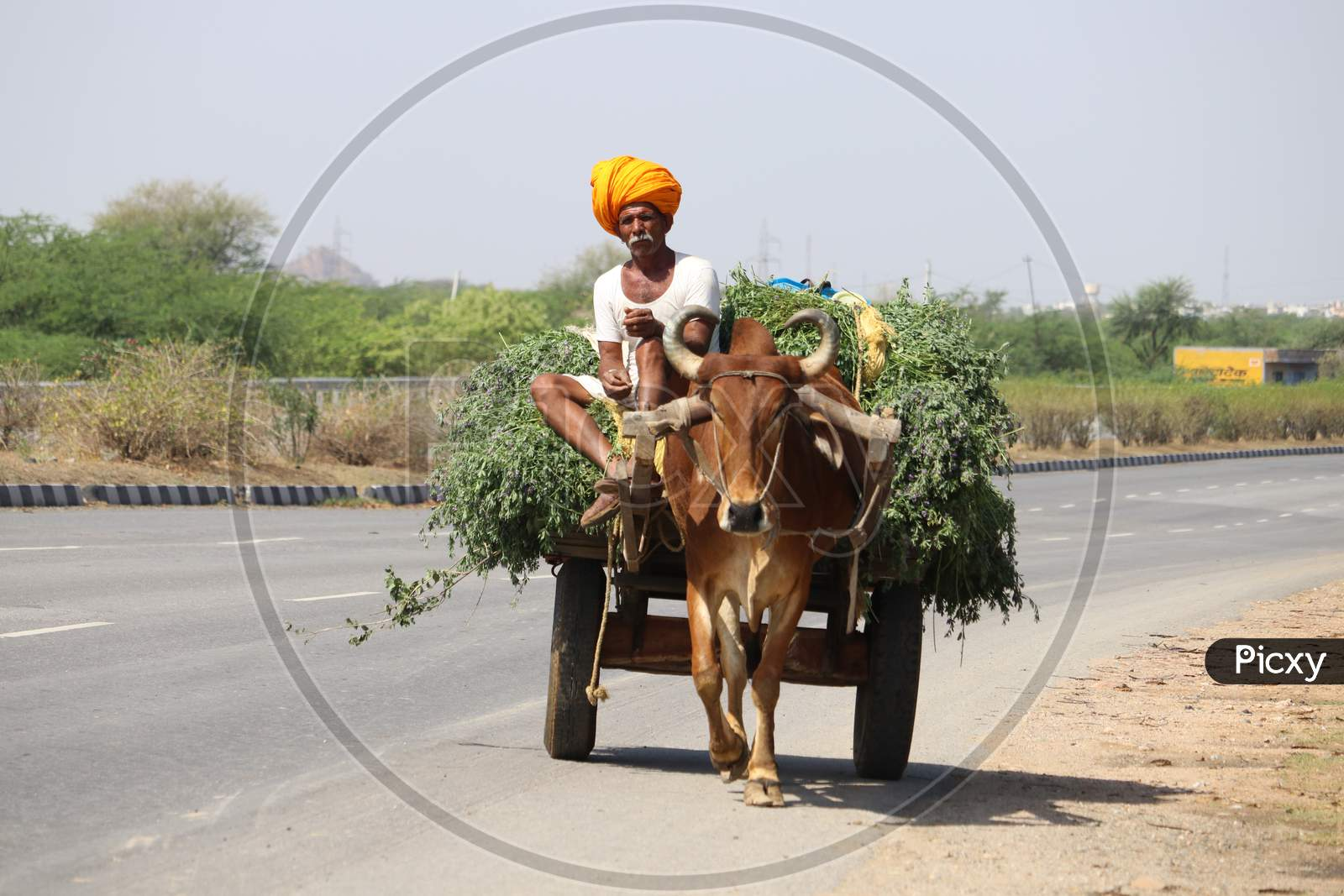 Indian Farmer Return From The Fields On A Bullock Cart On The Outskirts Of Ajmer, Rajasthan, India.