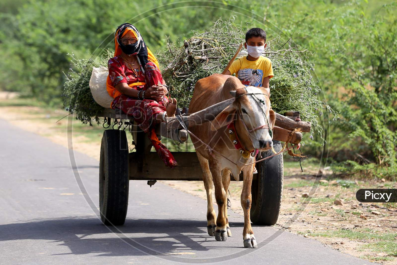 A woman and a child return from fields with the produce on a bullock cart on the outskirts of Ajmer, Rajasthan, India on 09 May 2020.