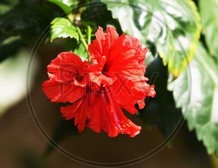 Red Hibiscus Rosa Sinensis, Chinese Hibiscus, Carnation Hibiscus Rosa