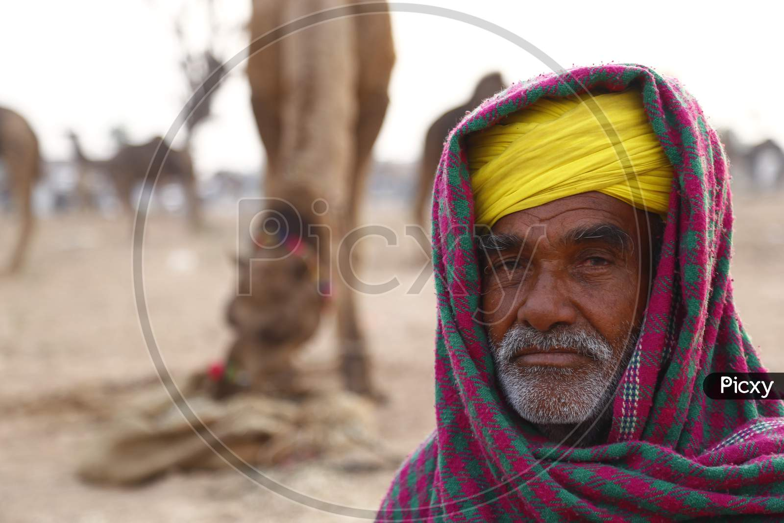 Nagaur Cattle Fair, Where Animals Like Camels, Cows, Horses And Bulls Are Brought To Be Sold Or Traded, In Nagaur District In The Desert State Of Rajasthan, India.