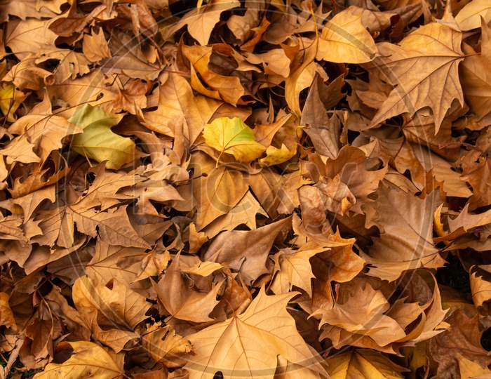 Dry Tree Leaves In The Autumn. Accumulation Of Fallen Leaves. Concept Of Dryness And Death. Passage Of Time In A Living Being.