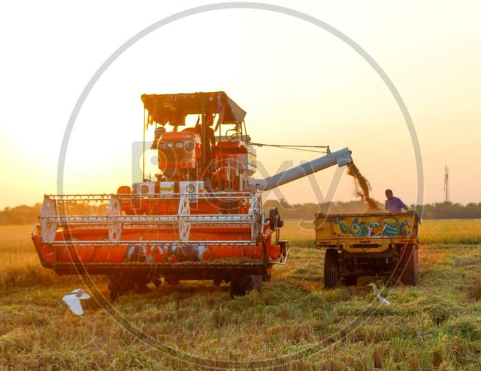 harvesting of paddy field with harvester machine during in golden hour