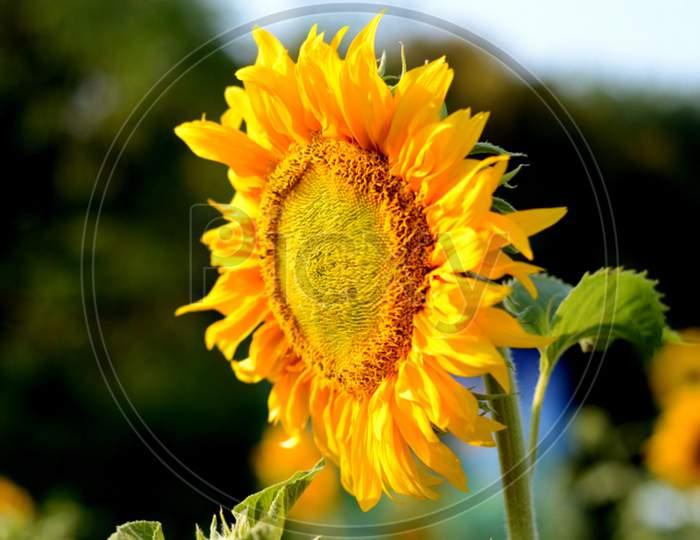 Yellow Petal Sunflower