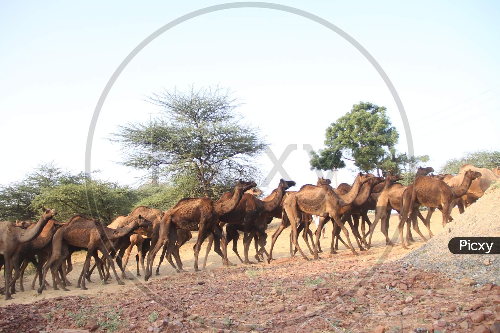 Caravan  Of Camels At Pushkar Camel Fair, Rajasthan
