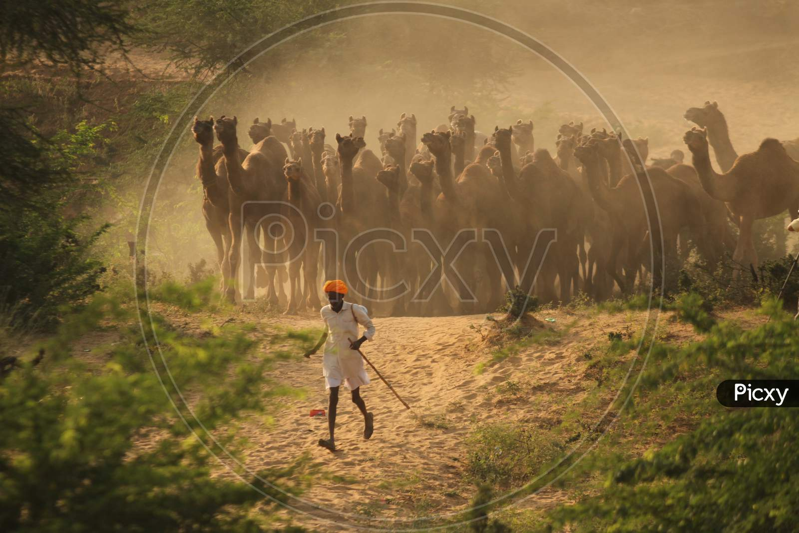 Pushkar Camel Fair In Pushkar In Rajasthan. Thousands Of Livestock Traders From The Region Come To The Traditional Camel Fair Where Livestock, Mainly Camels, Are Traded. This Annual Five-Day Camel And Livestock Fair Is One Of The World'S Largest Camel Fairs.