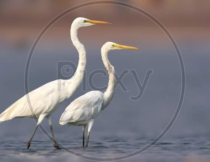 Great Egret Bird Standing Pair