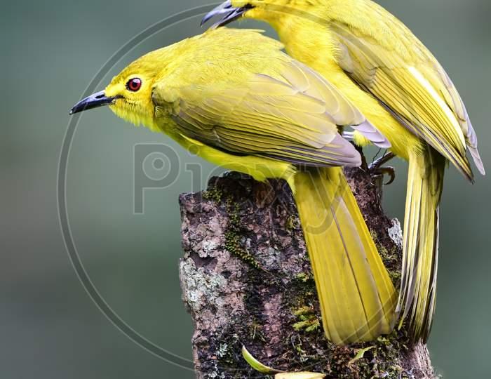 Yellow-Browed Bulbul