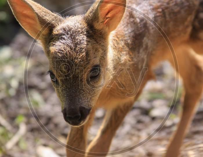 Baby Deer Looking At Camera