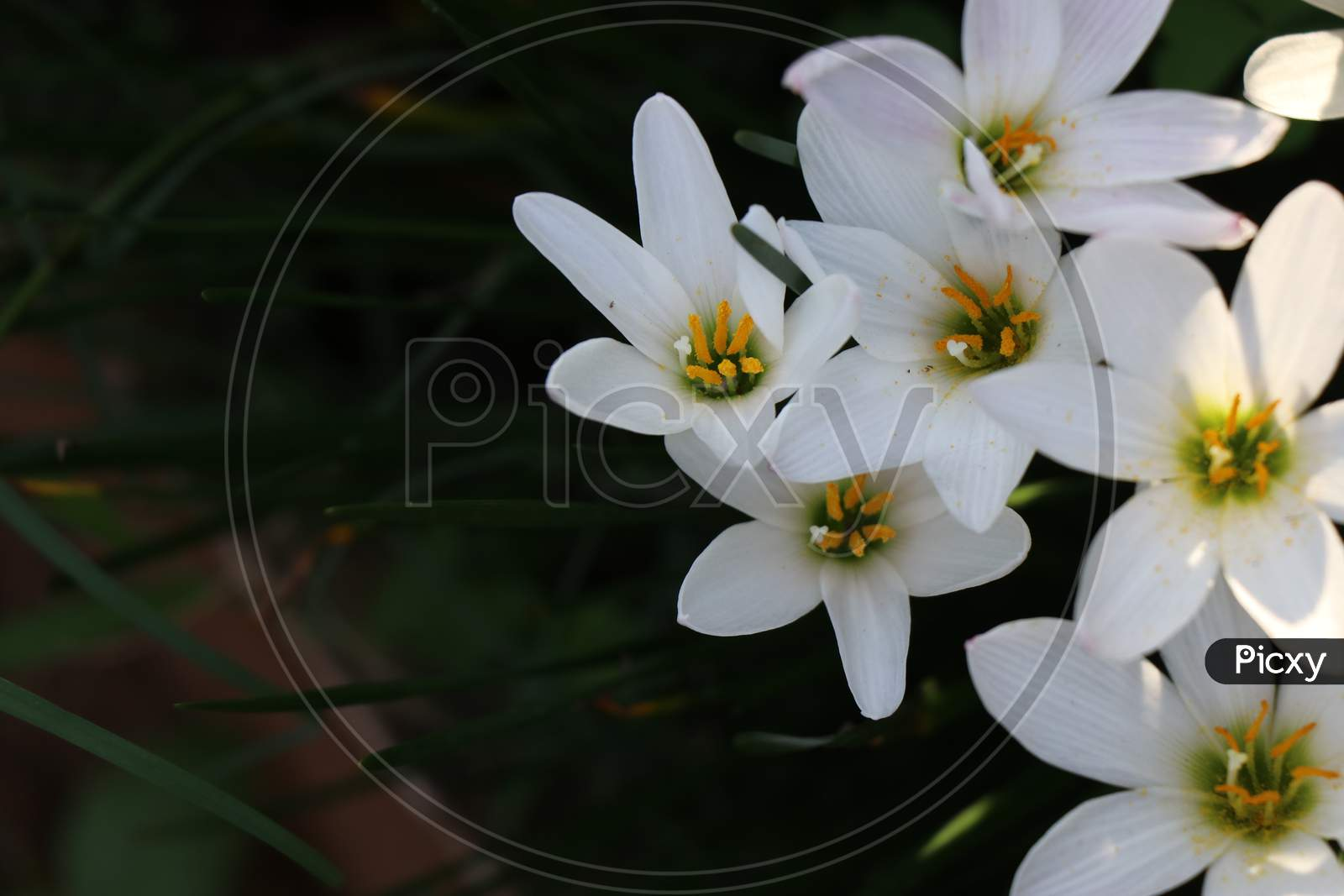 Fully Bloomed White Lilies Which Belongs To Lilium Species