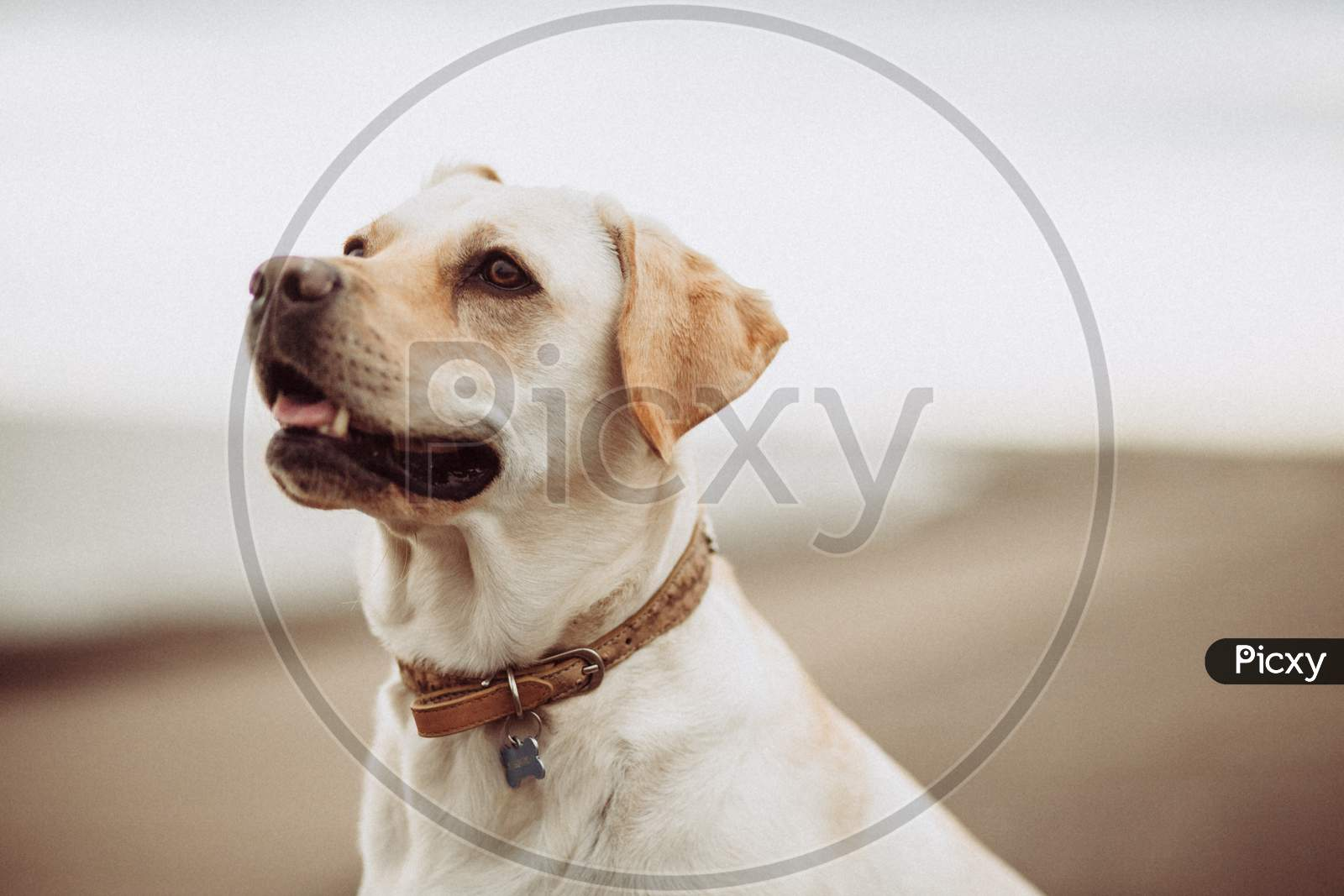 Loyal Dog In Standing Position Looking Towards Sky