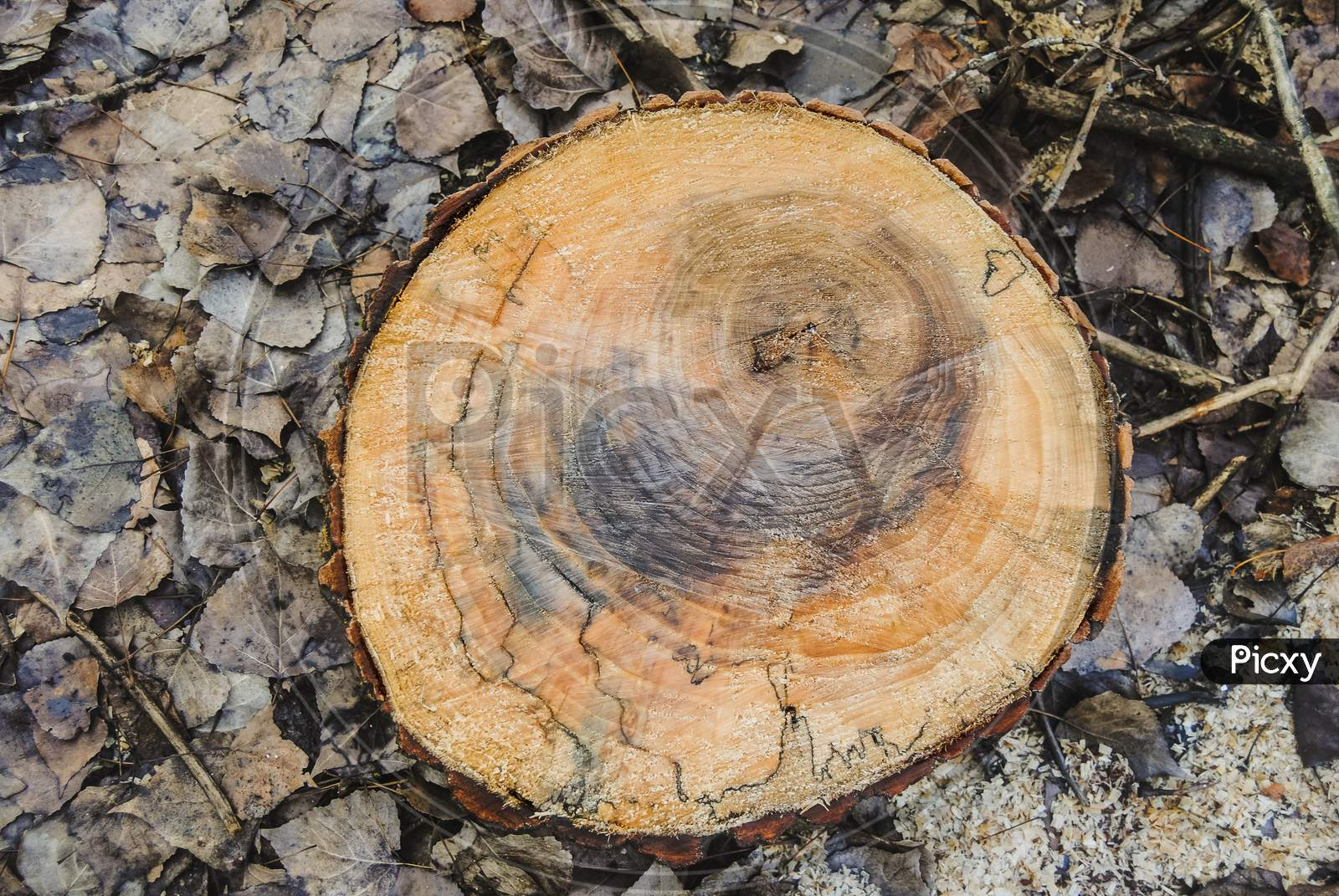 Texture Of A Old Wooden Log With Of Age Lines Marks Surrounded By Wet Leaves And Sawdust