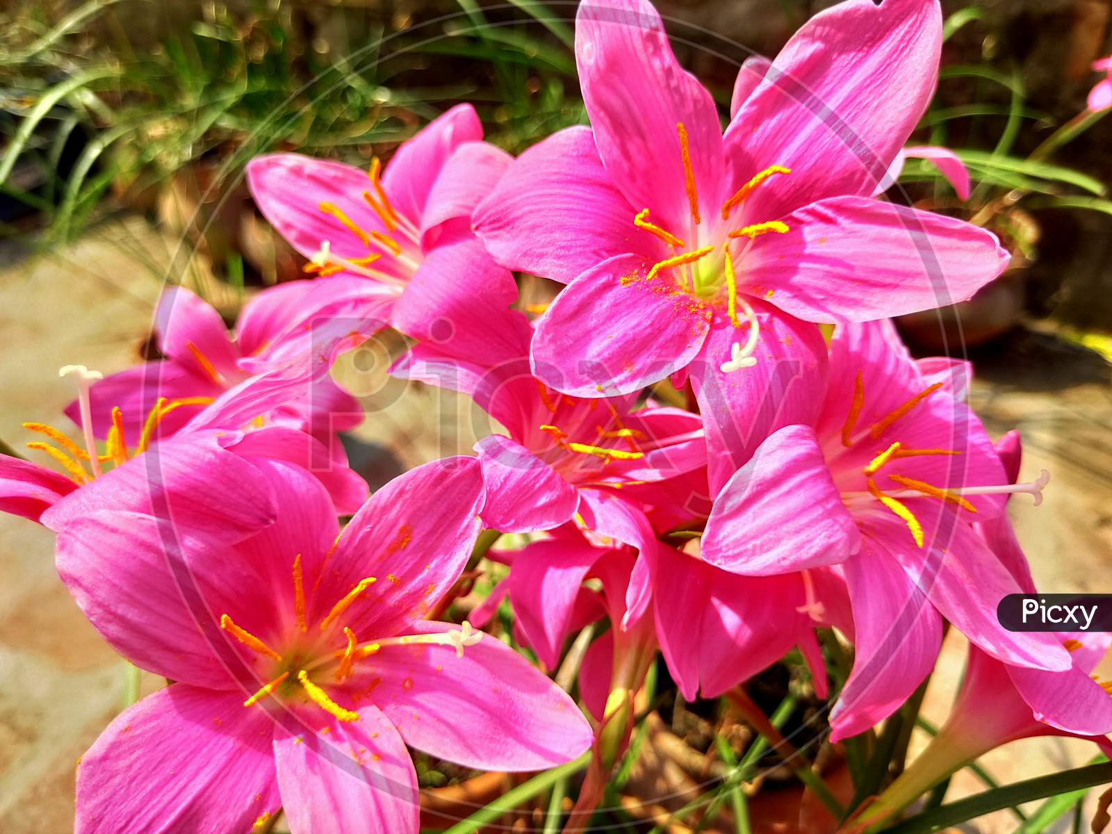 Blood Pink Lily