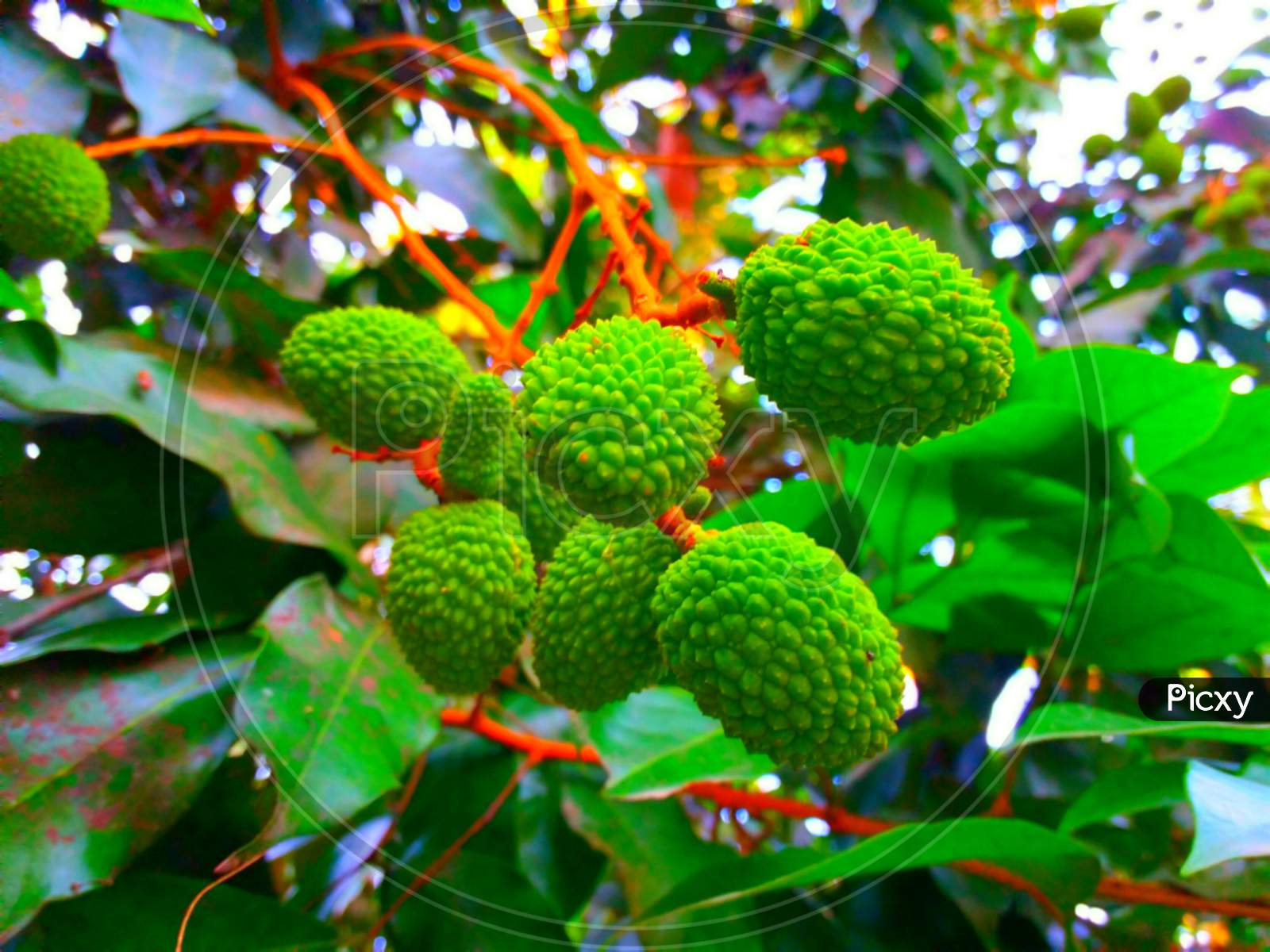 Green Litchi Growing In Tree
