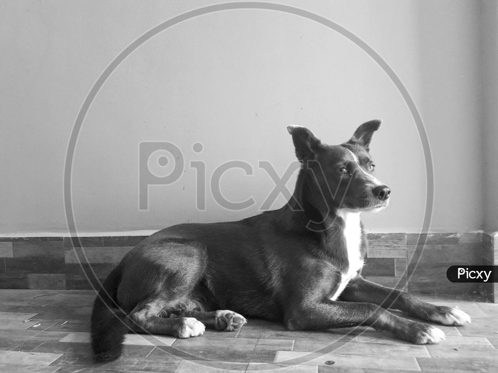 A Black And White Portrait Of Female Dog