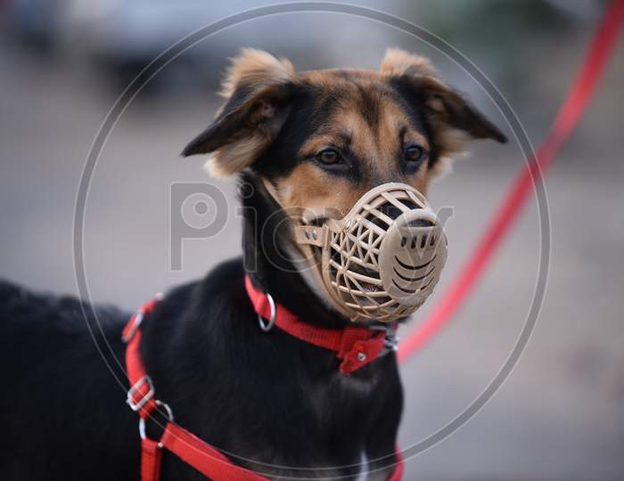 A pet dog's face covered with a mask amid the fears of coronavirus, Hyderabad, May 22, 2020.
