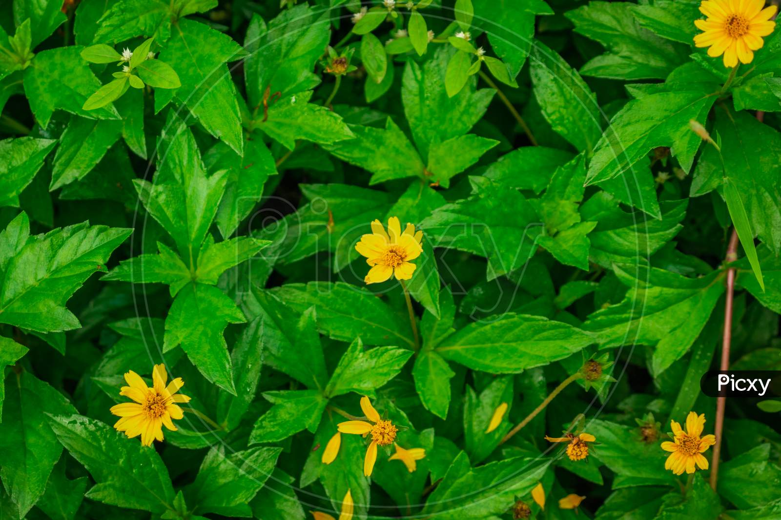 Small Yellow Flower Surrounded By Its Green Leafs