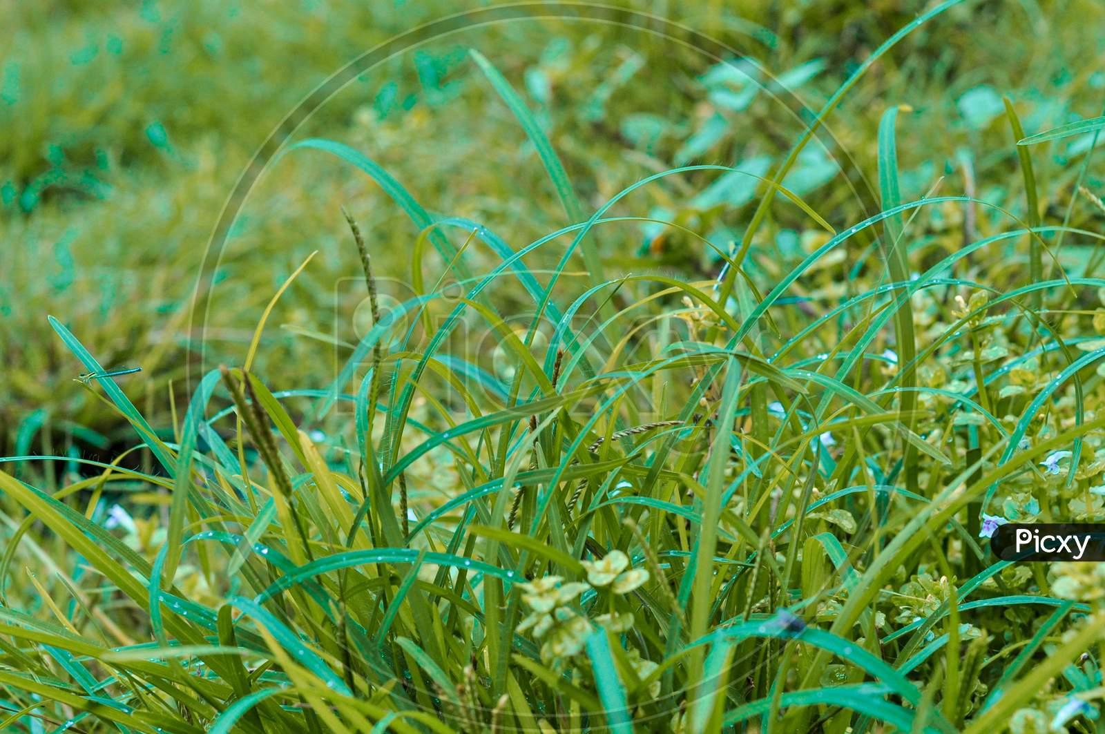 Greene Grass Background Wallpaper Image